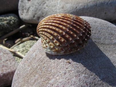 Bretagne, Strand, Muschel