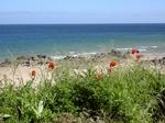 Klatschmohn blüht aun der Küste