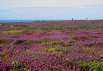 Heide und Ginster tauchen die Steilküste in ein Farbenmeer.