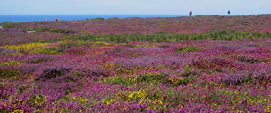 Typisch für die Bretagne: Auf der Steilküste leuchten Heide und Ginster.